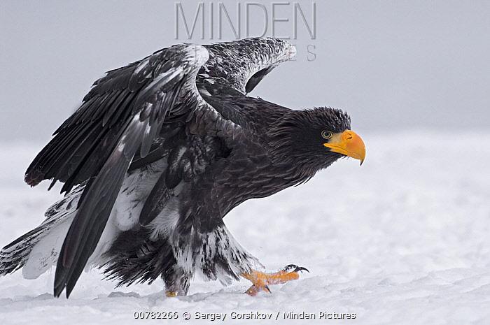 Steller's Sea Eagle (Haliaeetus pelagicus) juvenile walking, Kamchatka, Russia  -  Sergey Gorshkov