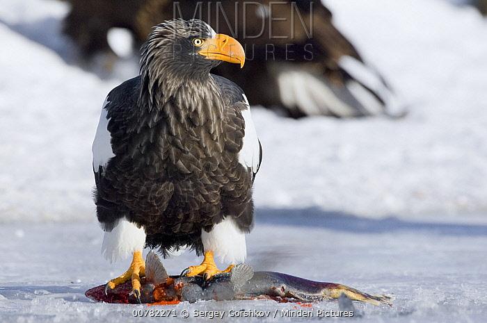 Steller's Sea Eagle (Haliaeetus pelagicus) adult foraging on fish, Kamchatka, Russia  -  Sergey Gorshkov
