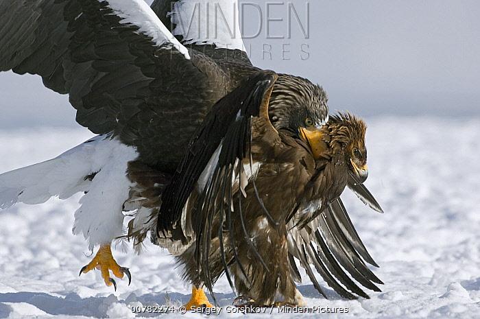 Steller's Sea Eagle (Haliaeetus pelagicus) attacking Golden Eagle (Aquila chrysaetos) to get its food, Kamchatka, Russia  -  Sergey Gorshkov