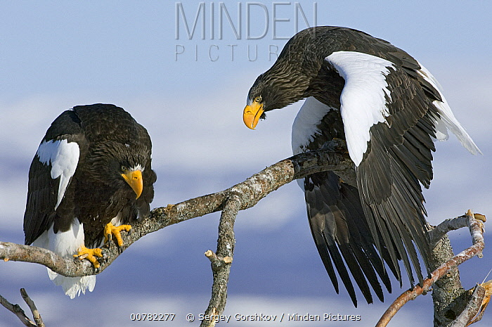Steller's Sea Eagle (Haliaeetus pelagicus) posturing to make itself appear larger, trying to intimidate other adult, Kamchatka, Russia  -  Sergey Gorshkov