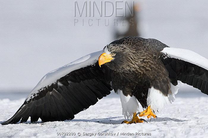 Steller's Sea Eagle (Haliaeetus pelagicus) walking over snow in agressive posture, Kamchatka, Russia  -  Sergey Gorshkov