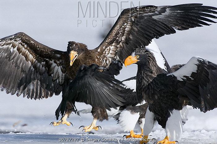 Steller's Sea Eagle (Haliaeetus pelagicus) juvenile trying to chase away adult and raven, Kamchatka, Russia  -  Sergey Gorshkov