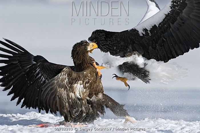 Steller's Sea Eagle (Haliaeetus pelagicus) adult attacking juvenile, Kamchatka, Russia  -  Sergey Gorshkov