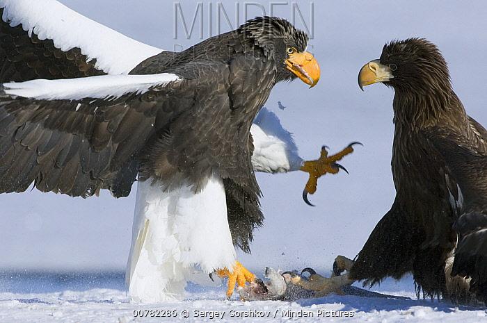 Steller's Sea Eagle (Haliaeetus pelagicus) adult and juvenile fighting over fish, Kamchatka, Russia  -  Sergey Gorshkov