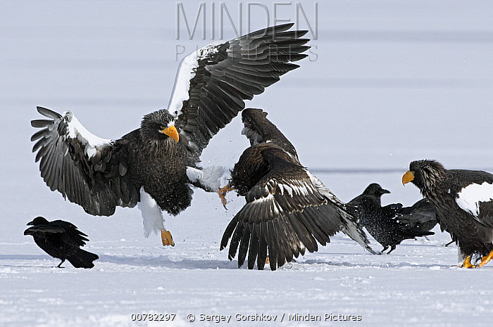 Steller's Sea Eagle (Haliaeetus pelagicus) adult and juvenile fighting over fish, Kamchatka, Russia  -  Sergey Gorshkov