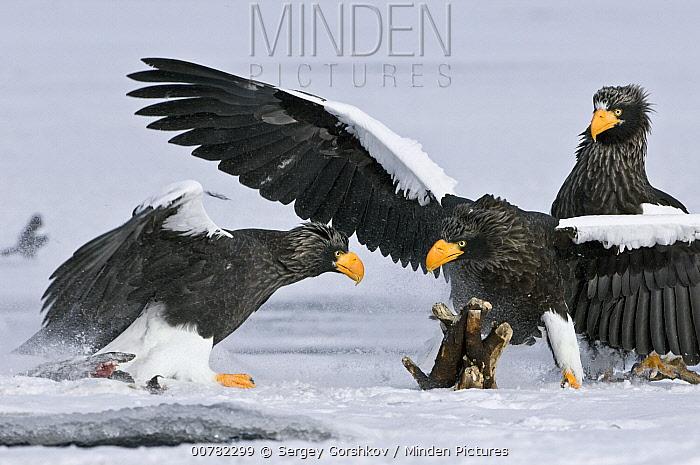 Steller's Sea Eagle (Haliaeetus pelagicus) pair fighting, Kamchatka, Russia  -  Sergey Gorshkov