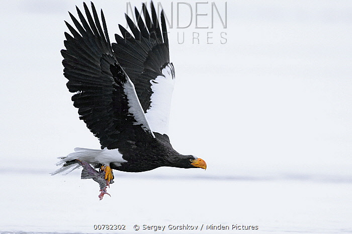 Steller's Sea Eagle (Haliaeetus pelagicus) flying with fish in claws, Kamchatka, Russia  -  Sergey Gorshkov