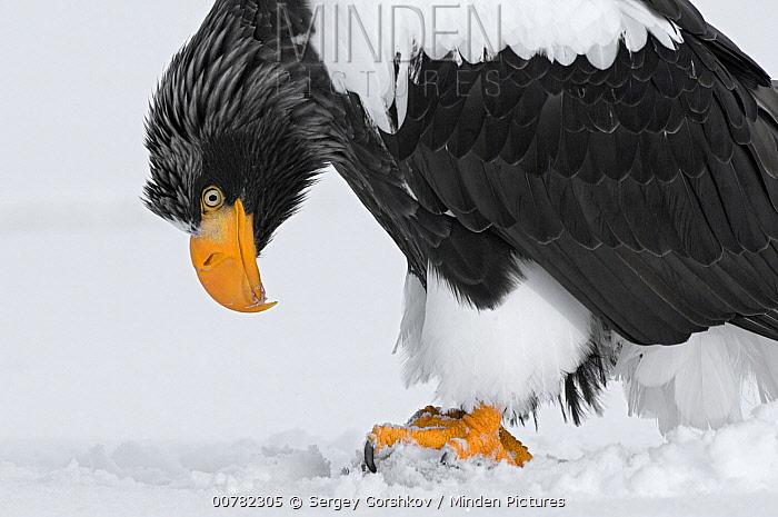 Steller's Sea Eagle (Haliaeetus pelagicus) standing on ice, Kamchatka, Russia  -  Sergey Gorshkov