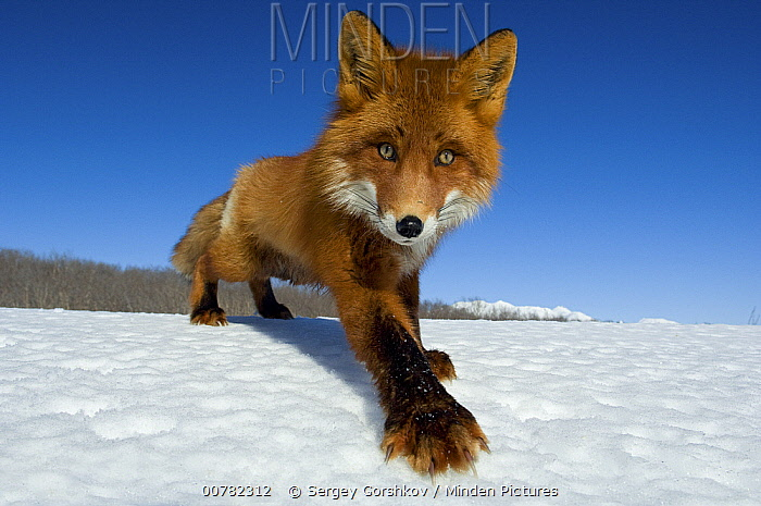 Red Fox (Vulpes vulpes) on snow, Kamchatka, Russia  -  Sergey Gorshkov