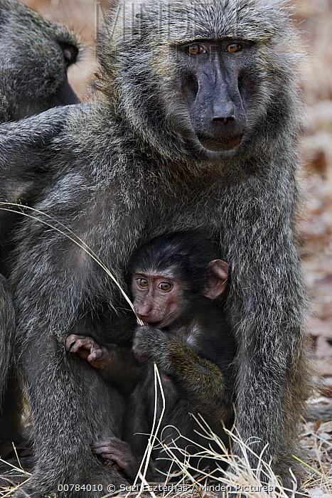 Olive Baboon (Papio anubis) female grooming mother with infant, Gombe Stream Chimp Reserve, Tanzania  -  Suzi Eszterhas