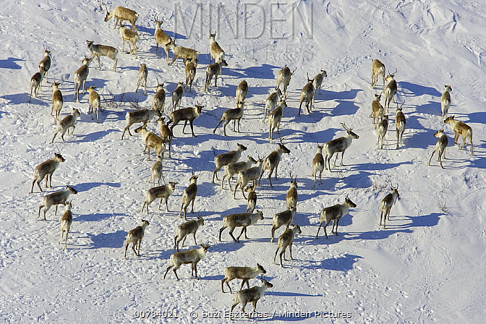 Caribou (Rangifer tarandus) herd, Wapusk National Park, Canada  -  Suzi Eszterhas
