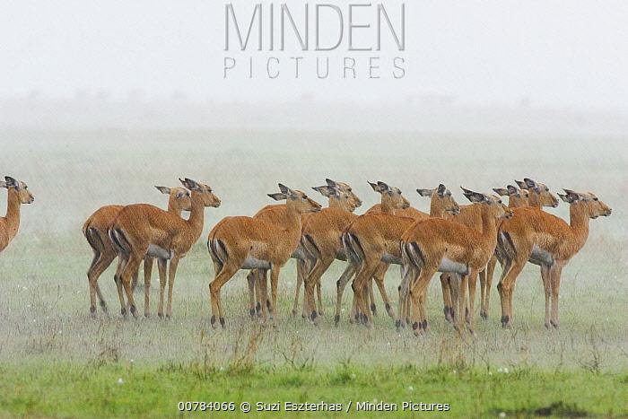 Impala (Aepyceros melampus) herd in a rainstorm, Masai Mara, Kenya  -  Suzi Eszterhas