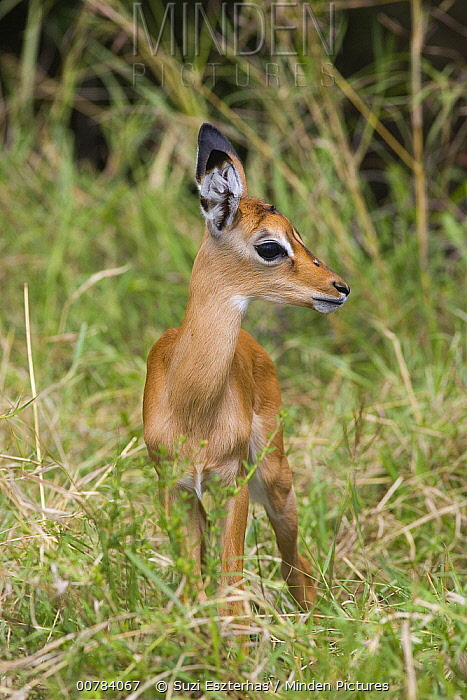 Impala (Aepyceros melampus) one to two days old newborn fawn, Masai Mara, Kenya  -  Suzi Eszterhas