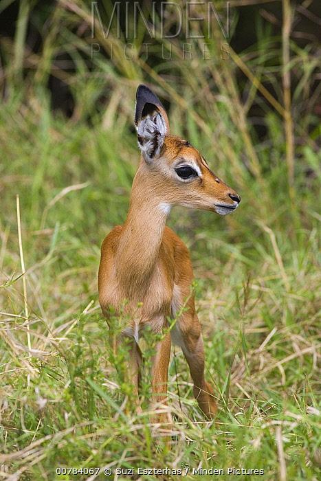 Impala (Aepyceros melampus) one to two days old newborn fawn, Masai Mara, Kenya  -  Suzi Eszterhas