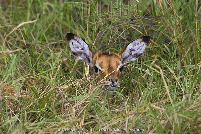 Impala (Aepyceros melampus) one to two days old newborn fawn hiding in grass, Masai Mara, Kenya  -  Suzi Eszterhas