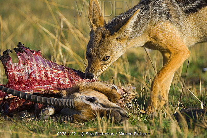 Black-backed Jackal (Canis mesomelas) feeding on carcass, Masai Mara, Kenya  -  Suzi Eszterhas