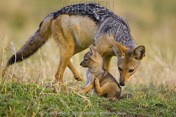 Black-backed Jackal (Canis mesomelas) smelling three week old pup, Masai Mara, Kenya  -  Suzi Eszterhas