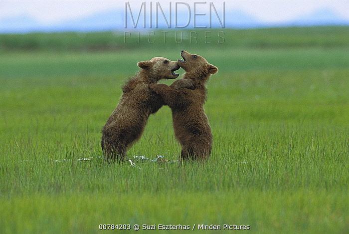 Grizzly Bear (Ursus arctos horribilis) cubs play fighting, Katmai National Park, Alaska  -  Suzi Eszterhas