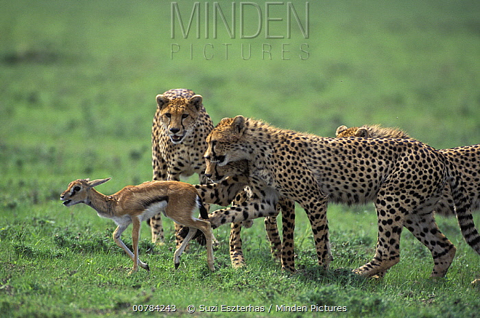 Cheetah (Acinonyx jubatus) mother and her three eight months old cubs huddle around a Thomson's Gazelle (Eudorcas thomsonii) fawn as they learn how to catch prey, Ngorongoro Conservation Area, Tanzania  -  Suzi Eszterhas