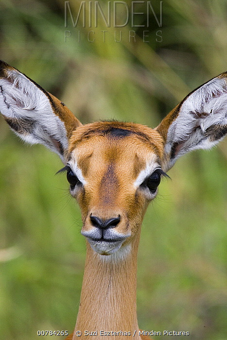 Impala (Aepyceros melampus) fawn, one to two days old, Masai Mara, Kenya  -  Suzi Eszterhas