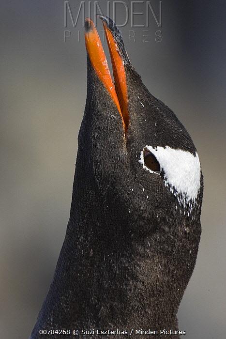 Gentoo Penguin (Pygoscelis papua) vocalizing on nest, Booth Island, Antarctica  -  Suzi Eszterhas