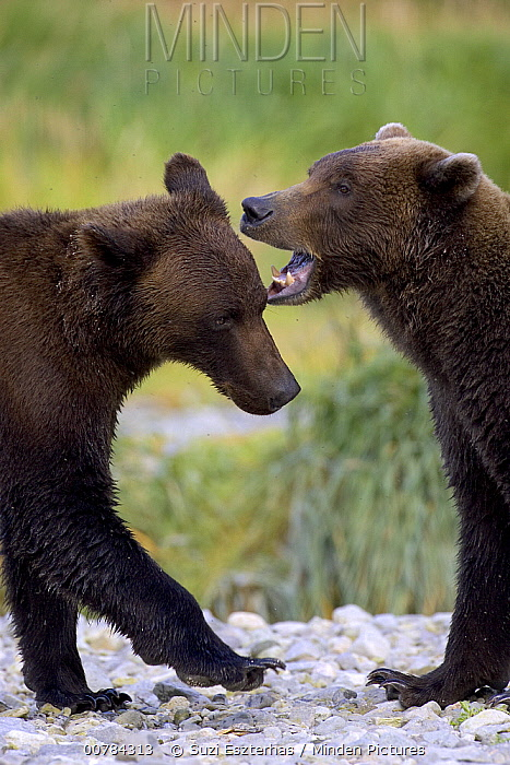 Grizzly Bear (Ursus arctos horribilis) pair play-fighting, Katmai National Park, Alaska  -  Suzi Eszterhas