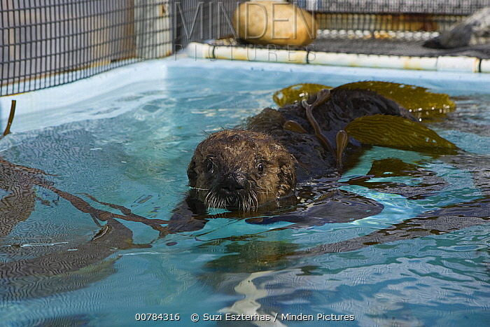 Sea Otter (Enhydra lutris) pup in rehabilitation center swimming with kelp, California  -  Suzi Eszterhas
