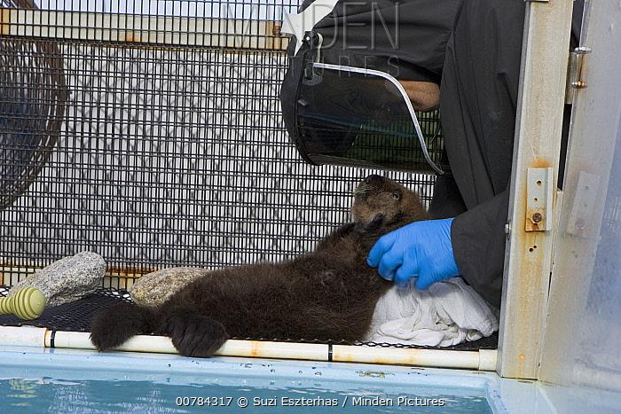 Sea Otter (Enhydra lutris) pup in rehabilitation center getting dried off, California  -  Suzi Eszterhas