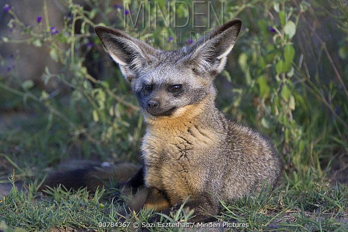 Bat-eared Fox (Otocyon megalotis), Ngorongoro Conservation Area, Tanzania  -  Suzi Eszterhas