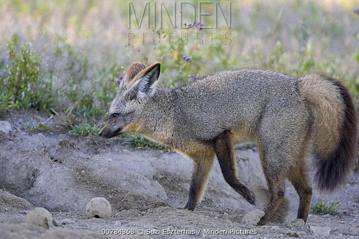 Bat-eared Fox (Otocyon megalotis) digging for termites and dung beetle larvae, Ngorongoro Conservation Area, Tanzania  -  Suzi Eszterhas