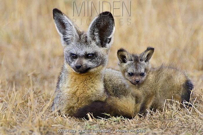 Bat-eared Fox (Otocyon megalotis) parent and pup, Masai Mara, Kenya  -  Suzi Eszterhas