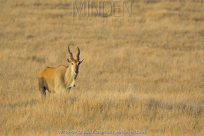 Eland (Taurotragus oryx) in grassland, Lewa Wildlife Conservancy, Kenya  -  Suzi Eszterhas
