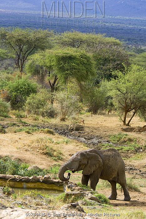 African Elephant (Loxodonta africana) drinking at well created for wildlife by Sarara Camp and Namunyak Wildlife Conservancy, Kenya  -  Suzi Eszterhas