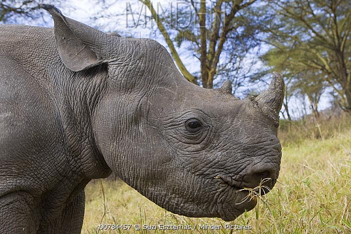 Black Rhinoceros (Diceros bicornis) calf grazing, Lewa Wildlife Conservancy, Kenya  -  Suzi Eszterhas