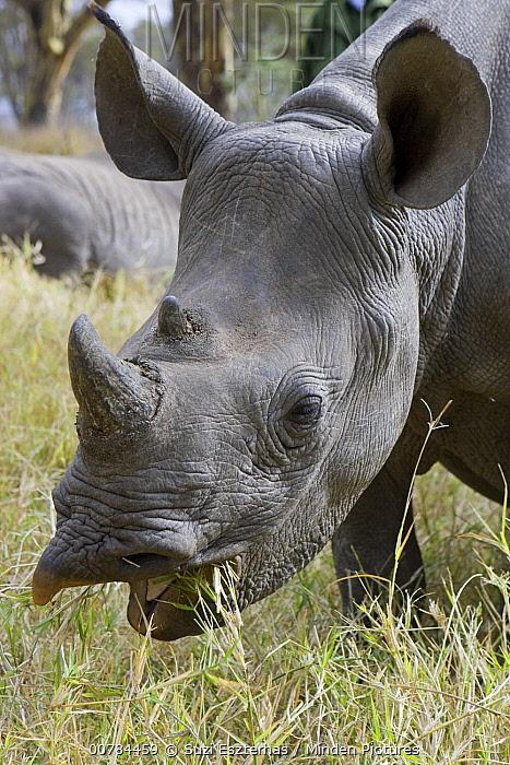 Black Rhinoceros (Diceros bicornis) grazing, Lewa Wildlife Conservancy, Kenya  -  Suzi Eszterhas