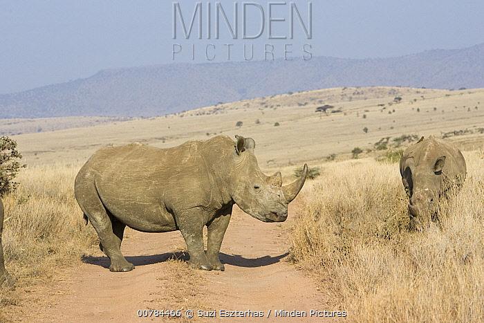 White Rhinoceros (Ceratotherium simum) pair along dirt road, Lewa Wildlife Conservancy, Kenya  -  Suzi Eszterhas