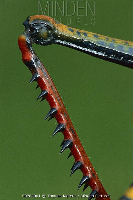 Lubber Grasshopper (Tropidacris sp) leg, showing spines used as defense, Peru  -  Thomas Marent