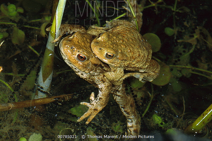 European Toad (Bufo bufo) pair mating, Switzerland  -  Thomas Marent