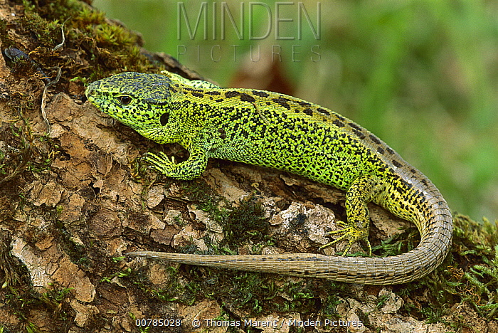 Sand Lizard (Lacerta agilis) male, Switzerland  -  Thomas Marent