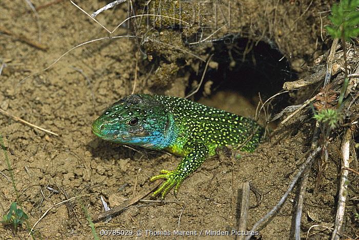 European Green Lizard (Lacerta viridis) male emerging from burrow, Switzerland  -  Thomas Marent