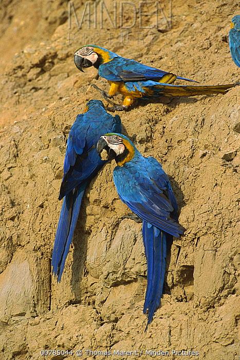 Blue and Yellow Macaw (Ara ararauna) group feeding on minerals at clay lick, Tambopata-Candamo Nature Reserve, Peru  -  Thomas Marent