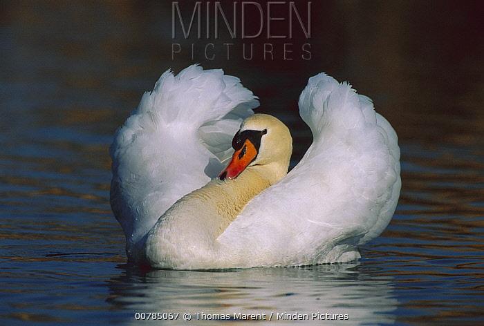 Mute Swan (Cygnus olor) male threat displaying, Switzerland  -  Thomas Marent