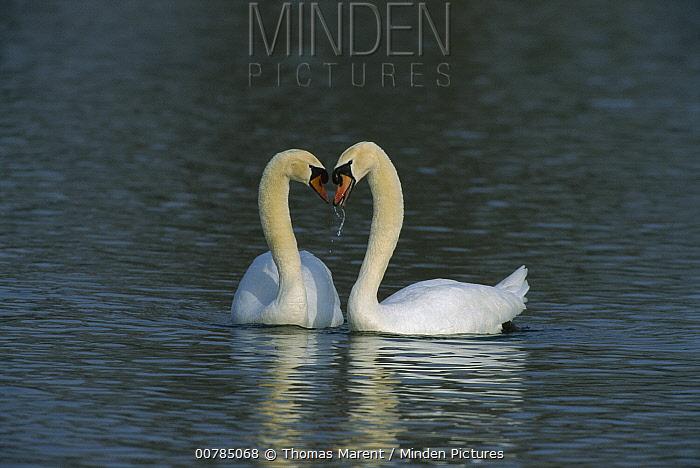 Mute Swan (Cygnus olor) pair courting, Switzerland  -  Thomas Marent