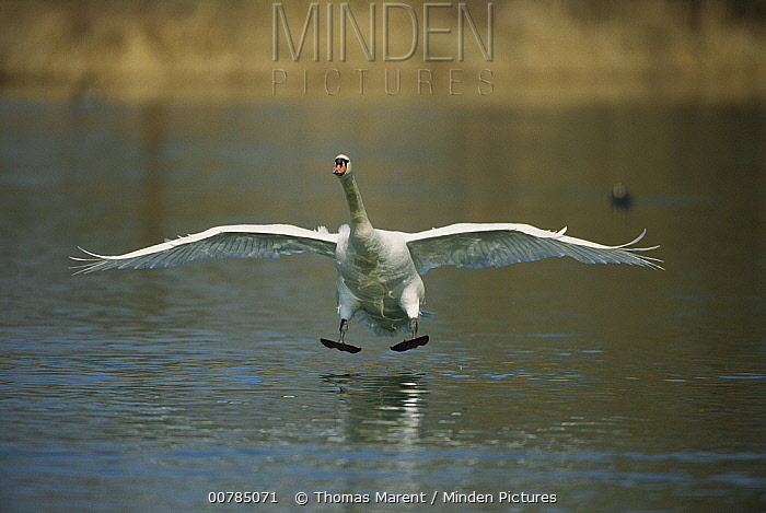 Mute Swan (Cygnus olor) coming in for a landing, Switzerland  -  Thomas Marent