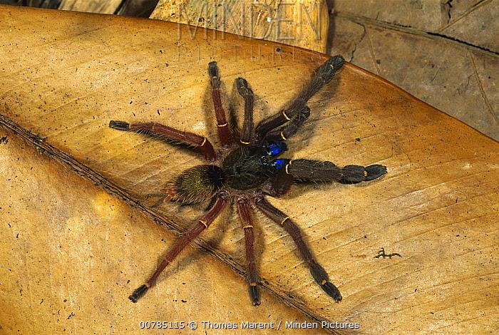 Blue Fang Skeleton Tarantula (Ephebopus cyanognathus), Guyana  -  Thomas Marent