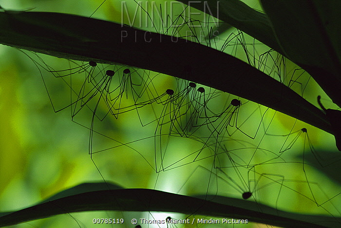 Harvestmen hiding under leaves, Tapanti National Park, Costa Rica  -  Thomas Marent