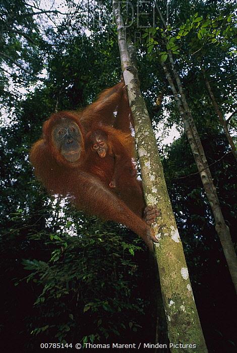Sumatran Orangutan (Pongo abelii) mother and baby, Gunung Leuser National Park, Sumatra, Indonesia  -  Thomas Marent
