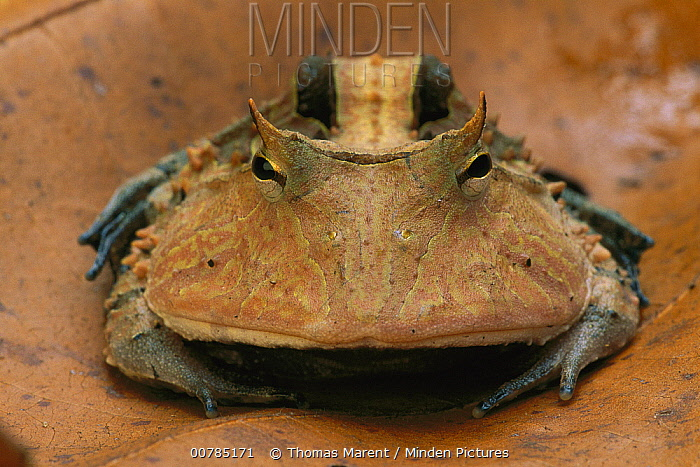 Amazon Horned Frog (Ceratophrys cornuta) portrait, Tambopata-Candamo Nature Reserve, Peru  -  Thomas Marent
