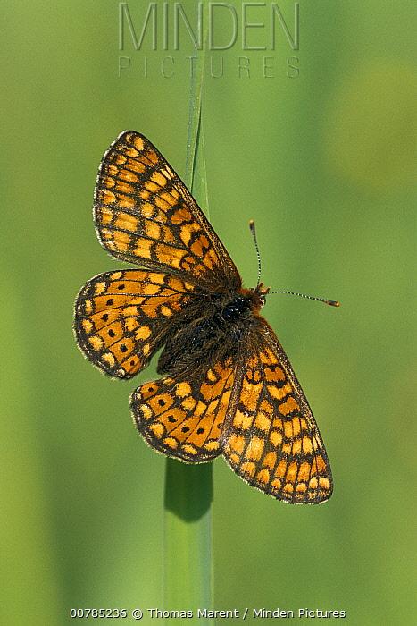 Marsh Fritillary (Euphydryas aurinia) butterfly, Switzerland  -  Thomas Marent