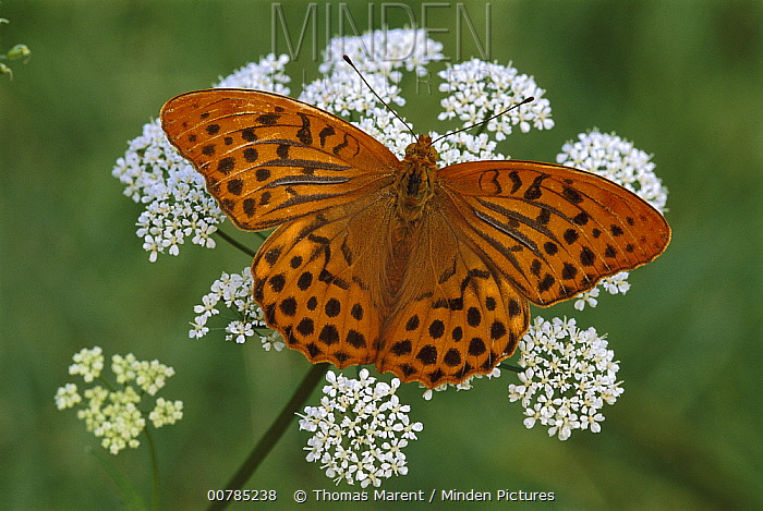 Silver-washed Fritillary (Argynnis paphia) butterfly, Switzerland  -  Thomas Marent